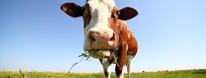 Застраховка на добитък